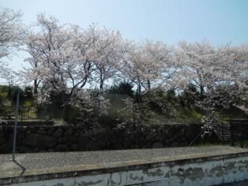 金光駅の桜並木