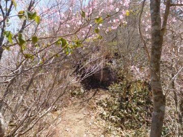 登山道に咲くアケボノツツジ